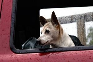 愛犬が不幸にも交通事故にあったときの対処法